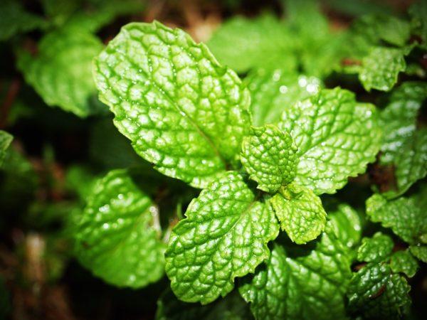 mint, leaf, menthol